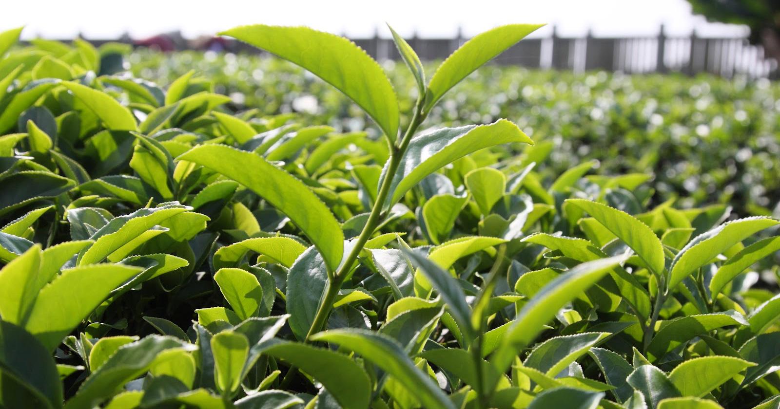 Mendirikan pabrik pengolahan teh hijau